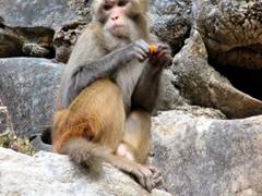 Close up of a feeding monkey; Seven Star Park