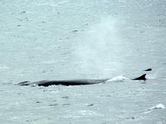 Minke whales seen after leaving Cooper Bay towards Antarctica