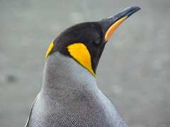 Detail of a King Penguin; Grytviken Whaling Station