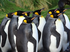 King Penguins are the second largest species of penguins, ranging up to 35 lbs each