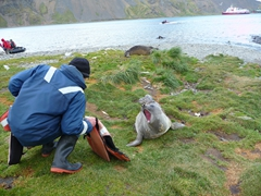 The strong winds at Grytviken blew a life jacket over towards this elephant seal, which quickly claimed the vest as its own. He reacts furiously as a staff member attempts to retrieve it