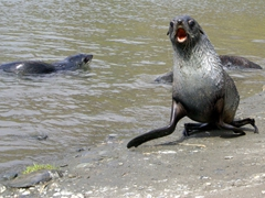 A charging fur seal immediately halts once contact is made with its whiskers; Fortuna Bay [Fur seals are more closely related to sea lions than seals, as they share external ears (pinnae), long muscular foreflippers, and the ability to walk on all fours]