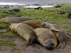 Molting elephant seals lie together is a heap to conserve energy and keep warm. It is normally a smelly, noisy pile
