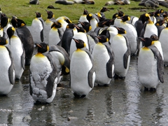 Molting penguins fast for weeks, as their feathers lose their insulating and waterproofing capabilities. The molt process normally occurs once a year, usually after breeding season