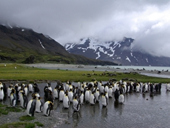Another view of molting penguins in a melt water stream; Fortuna Bay