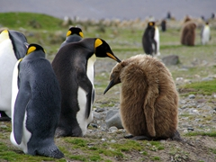 "A king penguins preens an oakum boy; Fortuna Bay (note: The old sealers called the adolescent king penguins ""oakum boys"" as they looked like the rolls of oakum used for caulking ships)"