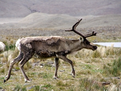 Yes, this really is a reindeer and yes, it is living on South Georgia Island. The reindeer were introduced to the island in 1911 by the Norwegian whalers as a source of meat and they have since thrived