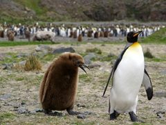 A king penguin rushes off from a hungry oakum boy, refusing to regurgitate krill