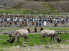 Reindeer calmly graze while Oakum Boys and King Penguins linger in the background