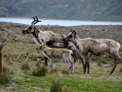 A reindeer family on Fortuna Bay