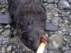 Fur seal nibbling on our stick to see if this is an easy meal; Fortuna Bay