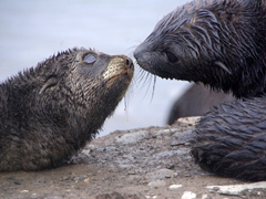 Fur seal's whiskers are incredibly sensitive to the touch. Here, two young pups gingerly check each other out