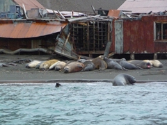 Elephant seals have happily made Stromness whaling station their new home