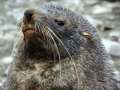 Close up detail of a fur seal; Fortuna Bay
