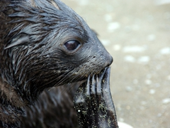 We watched the fur seal pups for hours...they are quite playful and are always scratching with their long fingernails