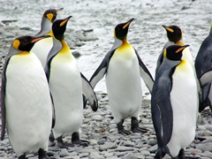 King Penguins, Fortuna Bay