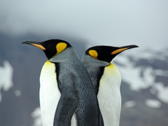 King penguins appear deep in thought; Fortuna Bay