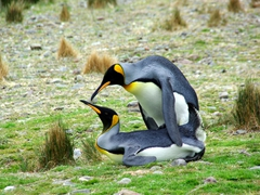 King penguins in copulation