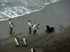 "A king penguin angrily scolds an aggressive fur seal as if to tell it to ""back off""; Fortuna Bay"