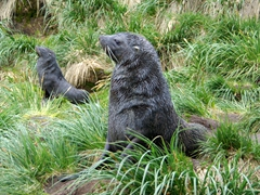 Aggressive fur seals challenge intruders venturing towards their territory; Fortuna Bay