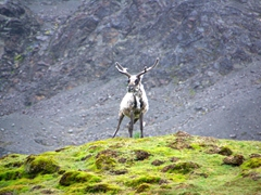 A reindeer reacts to our presence; Fortuna Bay
