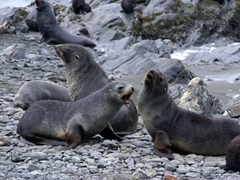 Fur seals are aggressive towards each other, mock fighting for hours every day
