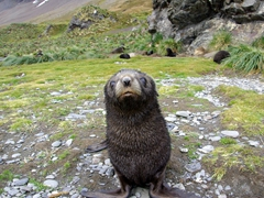 A curious fur seal pup approaches us to see if we are friend or foe