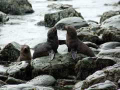 Fur seals playing at Godthul Bay