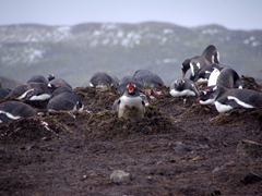 The outraged Gentoo parent cries in agony, but could not prevent the skua attack on its chick