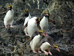 Macaroni penguins heading to the sea to feed; Hercules Bay