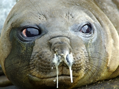 Protective mucus drips out of an elephant seal's nose; Hercules Bay