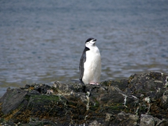 A lone chin strap penguin on the outskirts of the macaroni penguin colony; Hercules Bay