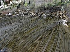 Large kelp seaweed; Hercules Bay