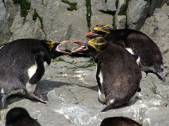 Macaroni penguins engaging in bill-jousting (when birds lock bills and wrestle, each trying to unseat the other, as well as batter with flippers and peck or strike their opponent's nape)