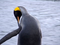 A king penguin captivated by its own preening; Right Whale Bay