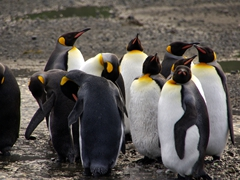 King penguins in various stages of molting and preening; Right Whale Bay