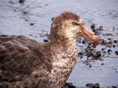 "Northern Giant Petrels are aggressive predators and scavengers, earning the nicknames ""stinker"" and ""glutton"" from the whalers"