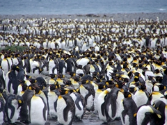 King penguins in various stages of molting; Salisbury Plains