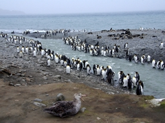 King penguins line the waterway leading to the sea, with a giant petrel hungrily eyeing potential prey