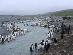 King penguins lining both sides of this channel; Salisbury Plains