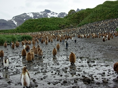 The outskirts of one of the most amazing sights on earth; Salisbury Plains' massive King Penguin colony