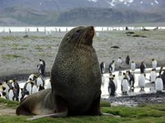 A magnificent fur seal against a backdrop of king penguins; Salisbury Plains