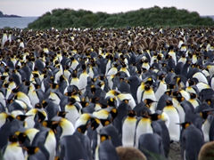 A heart stopping vista...King Penguins as far as the eye can see