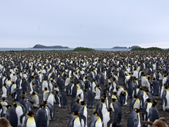 Thousands upon thousands of King Penguins make Salisbury Plains one of the most special places on earth