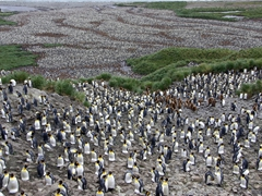 King penguins incubating their eggs (for 55 days straight) atop their feet; Salisbury Plains