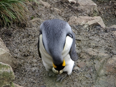 A king penguin carefully inspects its egg; Salisbury Plains