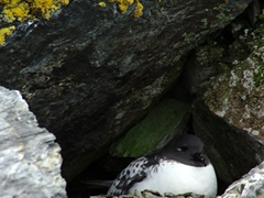 A Pintado Petrel nesting by the waterfront; Shingle Cove