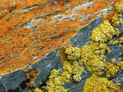 Lichen covered rocks; Shingle Cove