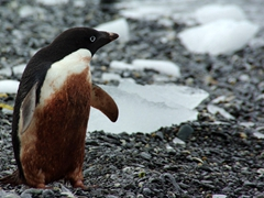 A filthy, guano covered Adelie penguin; Shingle Cove