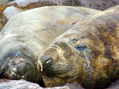 The smelliest, foulest and loudest elephant seals of the trip thus far; Shingle Cove